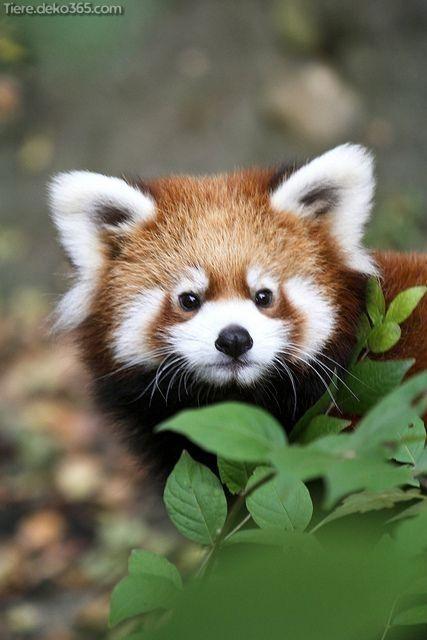 Gedons Die Sie Reichlich Rote Pandas Nicht Wussten Roter Panda Pandas Wilde Tiere