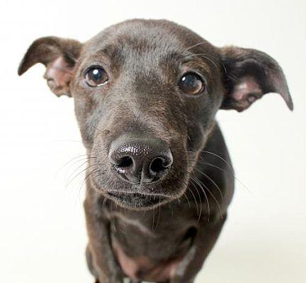 Los Angeles Ca Chihuahua Meet Rocco A Dog For Adoption Wags And Walks Pets Dog Adoption