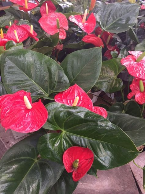 Anthurium Houseplants Beautiful But Poisonous Http Www Houseplant411 Com Houseplant Anthurium How To Grow Care Tips Anthurium Plant Anthurium Flower Pots
