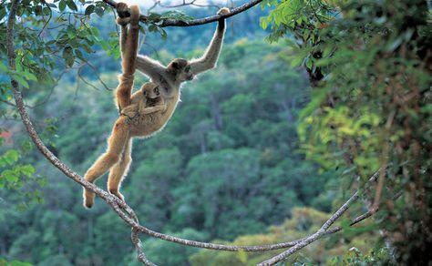 Muriqui And Baby Animais Em Extincao Primatas E Animais