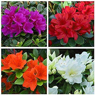 4 Japanese Dwarf Azalea Japonica Collection Small Evergreen Garden Shrub Colour Variety Amazon Co Uk Garden Out Conifer Plants Garden Shrubs Magnolia Shrub