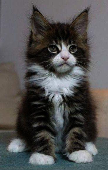 Pin On Adorable Kitten