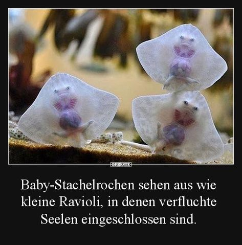 Baby stingrays look like little ravioli .. | Funny pictures sayings Wi
