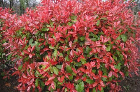 Photinia X Fraseri Red Robin Korallberkenye Hedging Plants