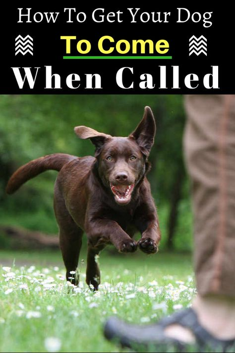 How To Get Your Dog To Come When Called Teach Dog To Come Dog