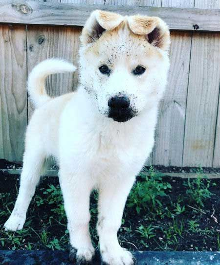 Dogs For Sale We Need To Talk In 2020 German Shepherd Husky Mix Cute Dog Mixes German Shepherd Husky
