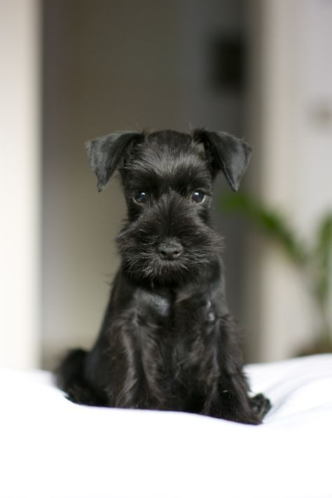 Ranked as one of the most popular dog breeds in the world, the Miniature Schnauzer is a cute little square faced furry coat. Miniature Schnauzer Puppies, Schnauzer Puppy, Schnauzers, Black Schnauzer, Cute Puppies, Cute Dogs, Dogs And Puppies, Doggies, Baby Animals