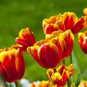 Tulip Flowers Flowers Birth Flowers Amazing Flowers