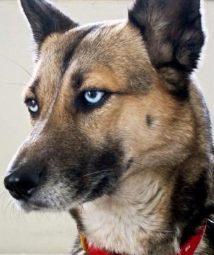 Why Israel Is Thronged With Blue Eyed Dogs Blue Eyed Dog Dogs Blue Eyes
