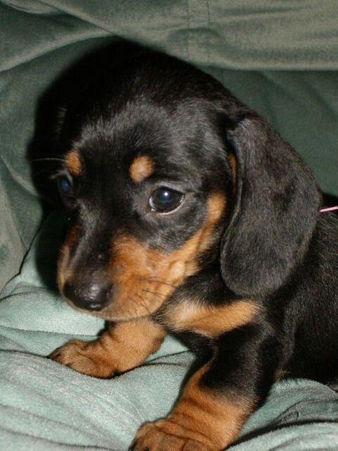 Little One Dachshund Puppies Black Tan Dachshund Dachshund Breed