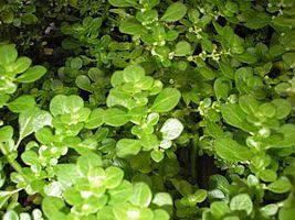 Brilhantina – Pilea microphylla - A brilhantina é uma planta de textura peculiar, suas folhas são muito brilhantes, suculentas e pequeninas, de coloração verde-clara. Sua estrutura é bastante ramificada e ereta assemelhando-se a ramos de ciprestes. Sua estatura é baixa, de 20-30 centímetros, tornando-aexcelente  em composições com flores diversas. Apresenta flores bem pequenas