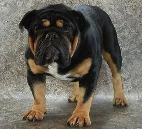 Our Black Swamp Bulldogs Ohio Rare Bulldog Breeder Black Black Tan Blue Chocolate Tri Colored Trindled Bulldog Puppies English Bulldog Puppies Bulldog