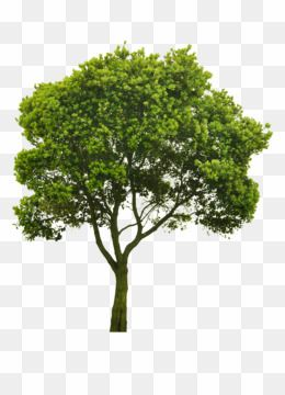 Free Download Trees Elevation Photoshop Png Tree Clipart Png Tree Clipart Clip Art Photoshop