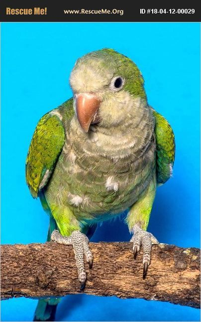 Adopt 18041200029 Pet Bird Rescue Kansas City Mo Pet Bird Bird Pets