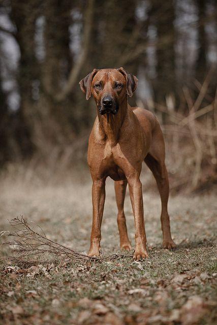 Mystic S Place Rhodesian Ridgeback Dog Most Beautiful Dogs Rhodesian Ridgeback