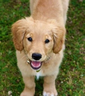 View From The Top Looking Down A Miniature Golden Retriever Is