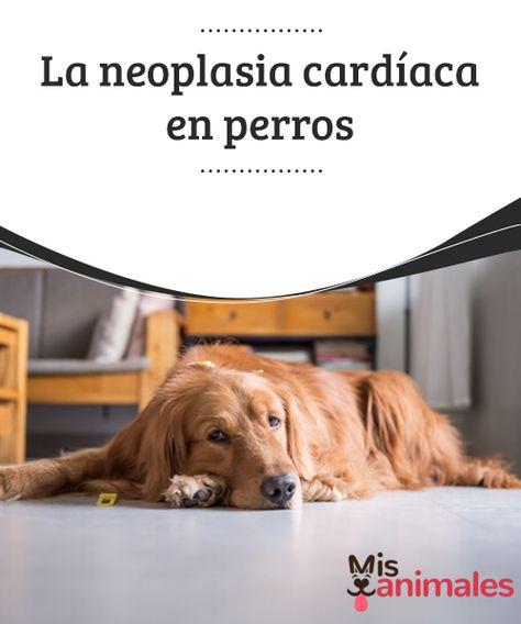La Neoplasia Cardiaca En Perros La Neoplasia Cardiaca En Perros