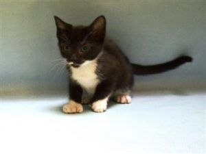 Mrs Elsie Is A 6 Week Old Kitten That Needs A Foster Home 6 Week Old Kitten Cat Shelter Cats