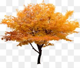 Free Download Red Maple Japanese Maple Tree Maple Leaf Yellow Trees Landscape Korea Png Japanese Maple Tree Yellow Tree Maple Leaf