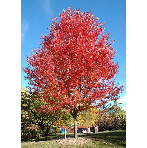 Find Autumn Blaze Maple (Acer x freemanii 'Jeffersred') in Winnipeg Headingley Oak Bluff Manitoba MB at Shelmerdine Garden Center