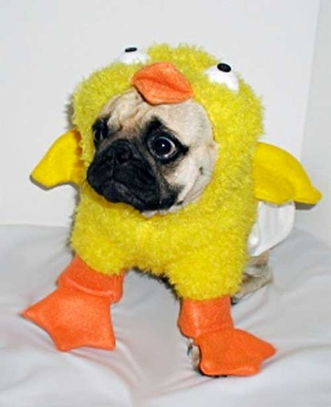 Pug In Chicken Costume Yahoo Canada Search Results Dog