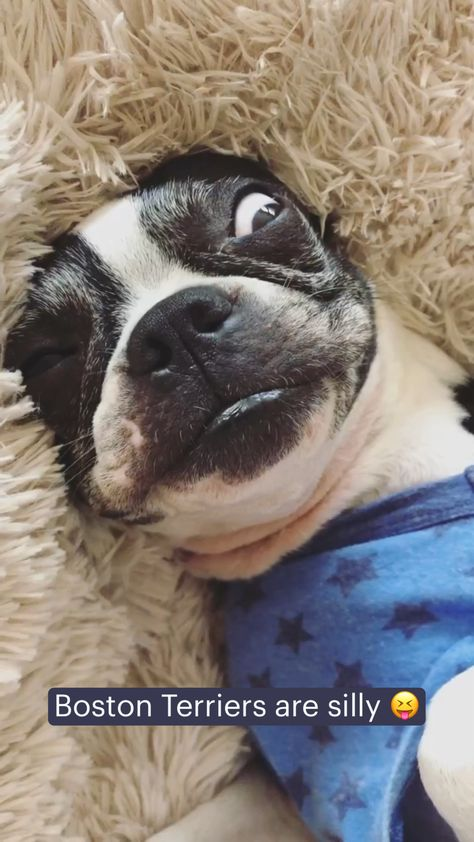 Boston Terriers are silly �