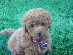 Maltipoo Full Grown Google Search Teddy Bear Dog Cute Animals Maltipoo