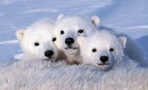 72 Ideas De Osos Osos Osos Polares Oso Polar