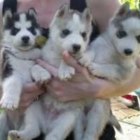 Adorable Cute SIBERIAN HUSKY Puppies For Adoption Offer Bellingham