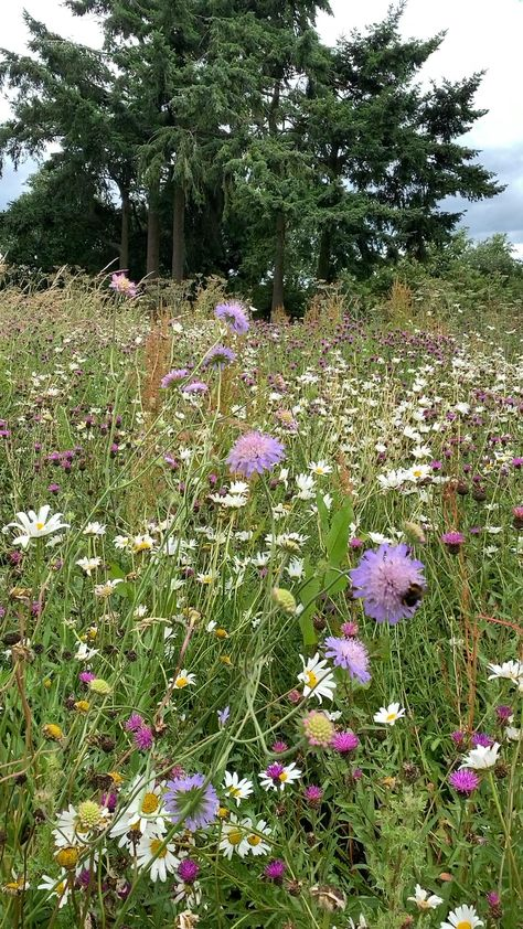 Our English wildflower meadow, in all its summer glory, here in South Shropshire #wildflowers #beefriendly #englishgarden #meadow #beautifulgardenideas
