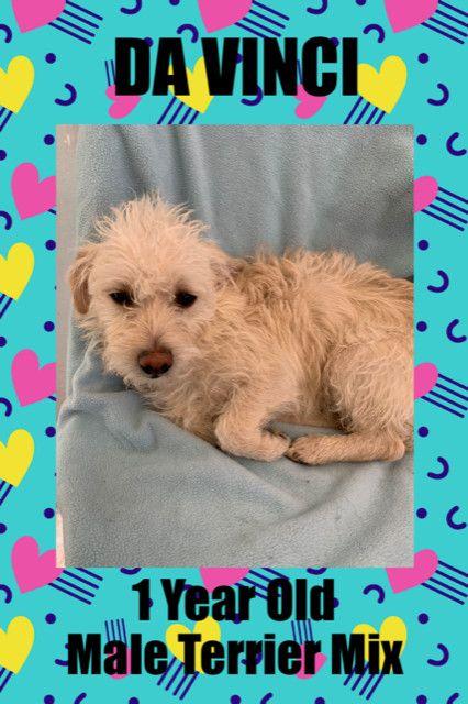 Adopt Da Vinci 1 Year Old Terrier Mix Male Next Event Saturdaysaturday January 18th 11 3 Petco 5011 E Ray Road Phoenix 85044 Ahwatukee On Terrier Mix Pet Adoption Animals