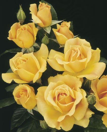 Easy Going™ Floribunda Shrub Rose from Weeks Roses: Golden, peachy yellow. Moderate fruity fragrance. Great disease resistance. #gardening #plants #flowers