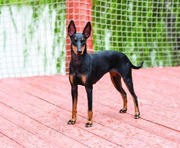 Manchester Terrier Toy Manchester Terrier English Toy Terrier Dog Breeds