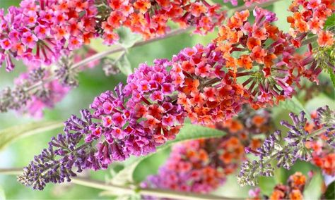 Gardening Express Buddleia Flower Power Bicolour Flowered Butterfly Bush From 7 99 With Free Delivery Up To 54 Off Butterfly Bush Flowers Buddleja Davidii