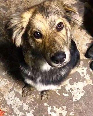 Plainfield Il Border Collie Meet Gizmo A Pet For Adoption