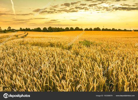 Campo De Trigo Dourado Paisagem De Lavouras De Graos Agricolas E