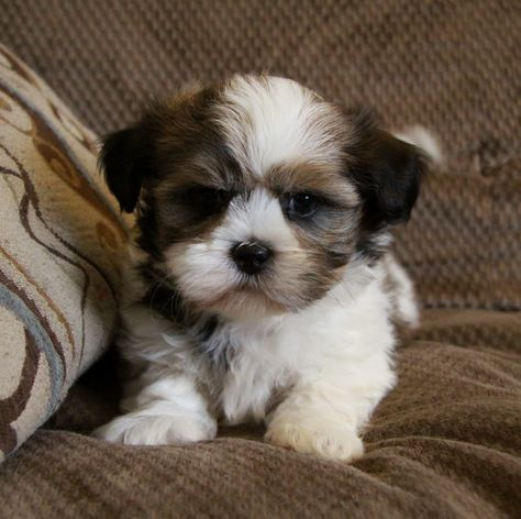Shih Poo Facts Temperament Training Diet Puppies Pictures