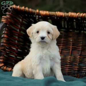 Mini Goldendoodle Puppies For Sale In 2020 Mini Goldendoodle