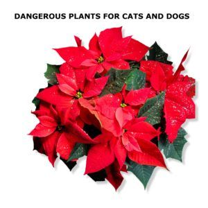 12 Plants That Can Make Your Pet Sick Plants To Avoid Christmas Flowers Flower Meanings Poinsettia Plant