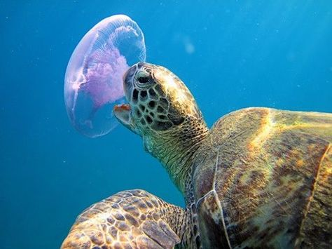 BORZUI- Jellyfish are primary food sources for turtles and sunfish (aka Mola Mola). Unfortunately, they frequently confuse plastic bags that kill them for jellyfish. JL