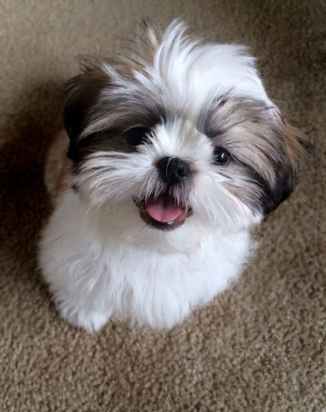 These Puppies Had Already Been Adopted Shih Tzus Also Can Be Blue In Color Br In 2020 Havanese Shih Tzu Grooming Shih Tzu