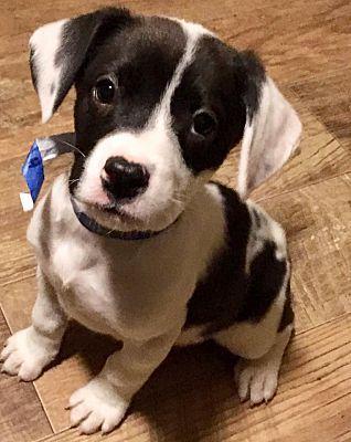 Shorewood Il Border Collie Meet Dasher A Pet For Adoption