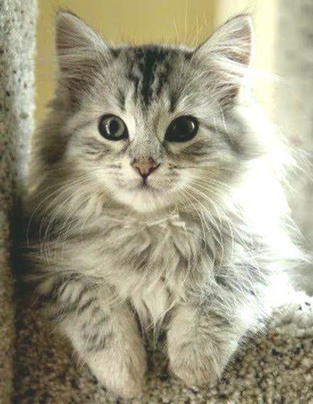 Kittens Long Hair Kittens Katzchen Lange Haare Chatons