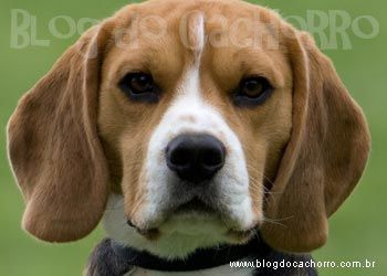 Find Out Why This Beagle Transforms Into A Chaotic Dog When No One