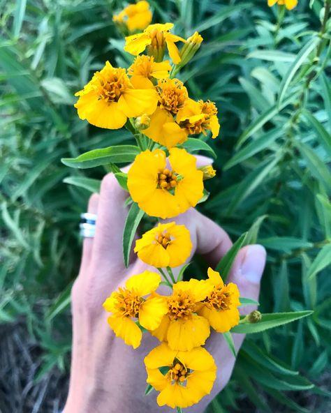 Fiori Gialli Yellow Flowers.Piante Erbe Fiori Giallo Yellow Flowers Decorazioni