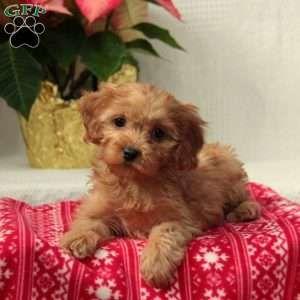 Cavapoo Puppies For Sale Cavapoo Puppies Cuddly Animals Puppies