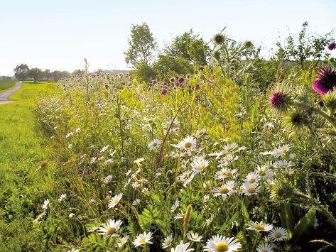 wilde planten berm tips aanleg bloemenweide http://www.ecoflora.be/nl/bloemenweiden