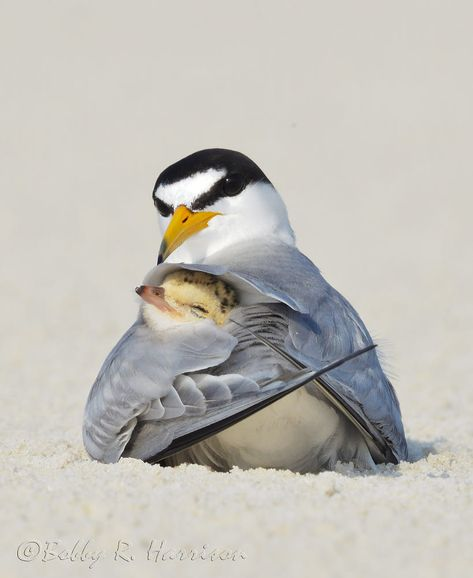 Least Tern, Sternula antillarum; Least Tern Colony; Photo by Bobby Harrison Least Tern, Sternula antillarum; Least Tern Colony; Photo by Bobby Harrison Pretty Birds, Love Birds, Beautiful Birds, Animals Beautiful, Cute Baby Animals, Animals And Pets, Funny Animals, Vogel Gif, Tier Fotos
