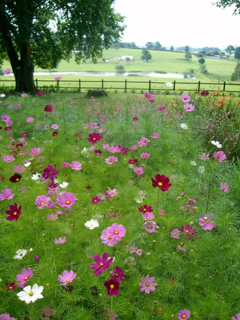 •♥•ABSOLUTELY STUNNING Cosmos in the KwaZuluNatal Midlands. I love cosmos. They're like a happy party of flowers. #placestogo Midlands Meander, KZN, South Africa www.midlandsmeader.co.za