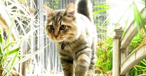 Pin On American Bobtail Cat Breed